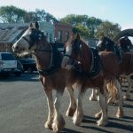 Free rides around historic Clunes with Sandy Creek Clydesdales
